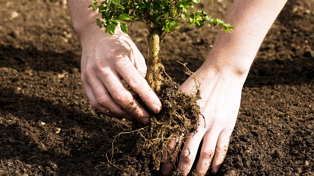 Tree Planting-Beaumont Tree Trimming and Stump Grinding Services-We Offer Tree Trimming Services, Tree Removal, Tree Pruning, Tree Cutting, Residential and Commercial Tree Trimming Services, Storm Damage, Emergency Tree Removal, Land Clearing, Tree Companies, Tree Care Service, Stump Grinding, and we're the Best Tree Trimming Company Near You Guaranteed!